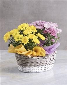 flowers: Lovely Chrysanthemum Blooms!