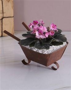 plants: African Violet in Mini Wheelbarrow!