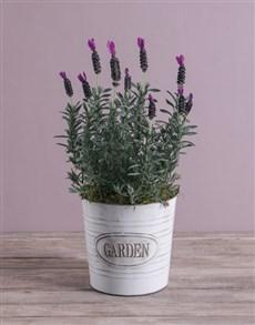 gifts: Serene Lavender in Meadow Garden Bucket!