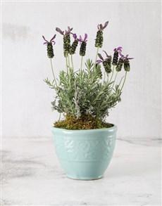 plants: Lavender in French Ceramic Pot!
