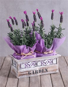 flowers: Lavender Duo in Antique Feel Planter!
