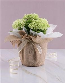 flowers: Natural Delight Hydrangea!