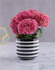 gifts: Pink Variety Hydrangea!