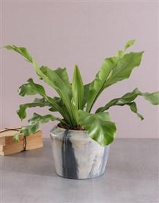 plants: Asplenium Nidus in a Two Toned Cement Pot!