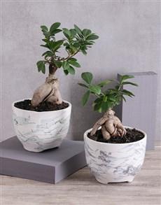 plants: Ficus Bonsai in a Three Toned Ceramic Pot!