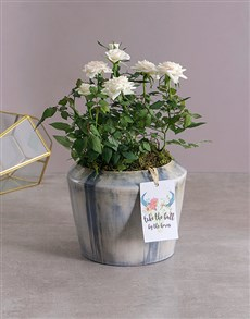 flowers: White Rose Bush in Blue Washed Pot!