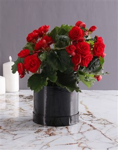 gifts: Always Wins Red Begonia!
