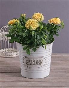 gifts: Cheerful Yellow Rose Bush!