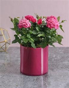 flowers: Pink on Pink Rose Bush!