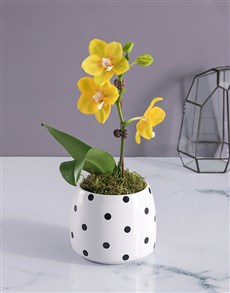 gifts: Yellow Orchid in a Polka Dot Pot!