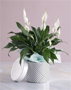 gifts: Pretty Lily Plant In Hatbox!