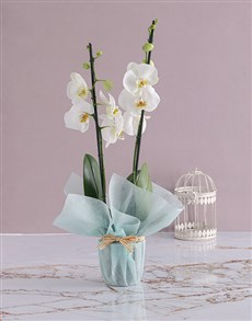 flowers: Two Stemmed Orchid In Blue!