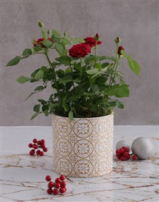 gifts: Red Rose Bush In Embossed Golden Planter!