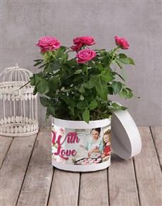 plants: Cerise Rose Bush In White Hatbox!