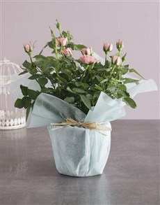plants: Pink Rose Bush Wrapped In Mint!