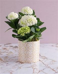 flowers: Hydrangeas In Patterned Pot!