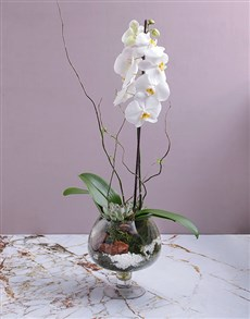 flowers: Orchid and Succulent in Footed Glass Vase!