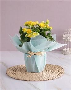 flowers: Yellow Begonia Surprise!