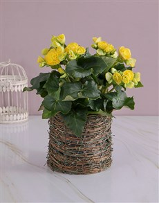 gifts: Yellow Begonia in Moss Basket!