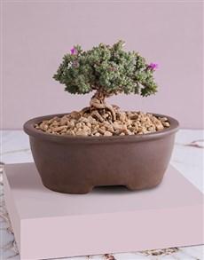 plants: Trichodiadema Bonsai in Ceramic Pot!