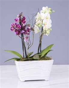 plants: Pink And White Orchids In A Ceramic Tub!