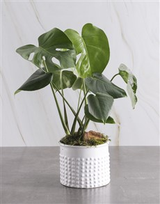 plants: Monster Leaf in Textured White Pot!