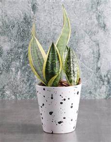 flowers: Sanseveria in Speckled Pot!
