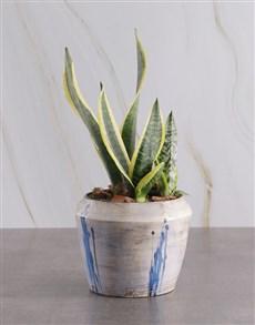 flowers: Sanseveria in Glazed Ceramic Pot!