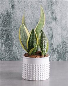 plants: Virtuous Sanseveria Plant!