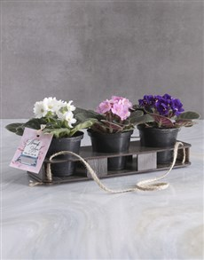 flowers: Thank Trio Of African Violets!