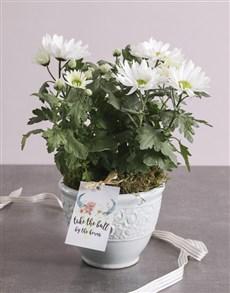 plants: Special Chrysanthemum Blossoms!