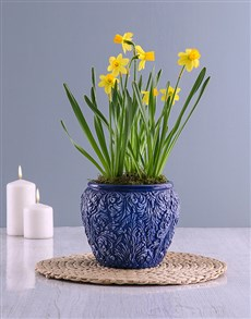 gifts: Yellow Daffodil Plants In Swirl Pot!