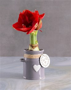 flowers: Milk Can Amaryllis!