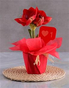 gifts: I Like You Amaryllis!