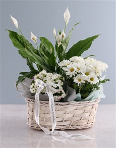plants: Spathiphyllum Variety Basket!