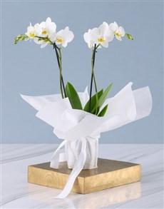 plants: White Midi Sympathy Orchid!