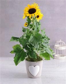 gifts: Classic Sunflower Pot!