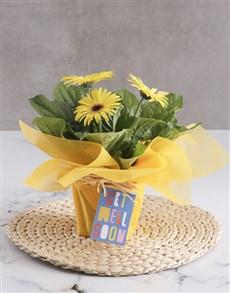 flowers: Yellow Gerbera Plant Gift!