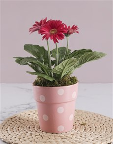 gifts: Mini Gerbera Plant Gift In Pot!