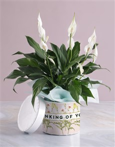 flowers: Thinking Of You Lily Plant In Hatbox!
