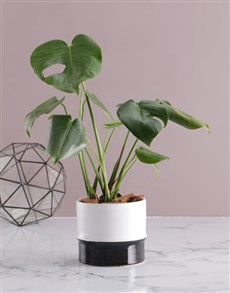 gifts: Monstera in Two Toned Ceramic Pot!