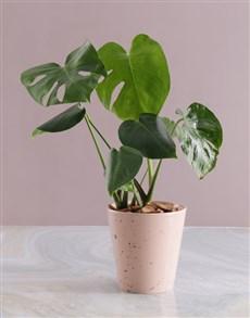 plants: Monstera in Pink Speckled Pot!
