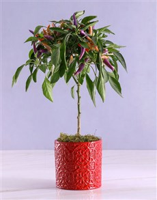 flowers: Potted Chilli Plant in Embossed Red Pot!