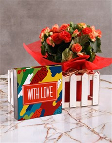 flowers: Begonia Picket Fence with Love Chocs!