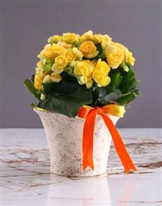 flowers: Yellow Begonia In White Ceramic!