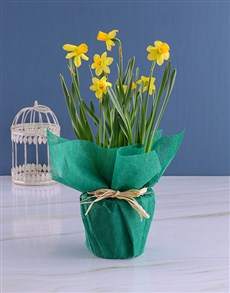 gifts: Yellow Daffodil Plants In Green Wrapping!