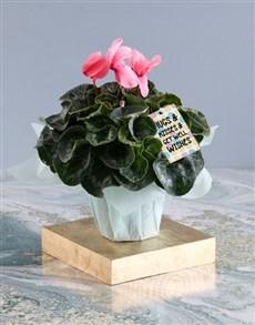 plants: Caring Pink Cyclamen!
