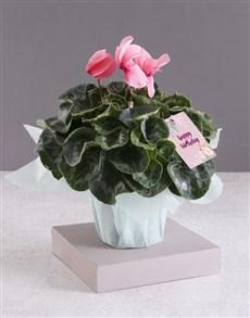 plants: White Birthday Cyclamen!