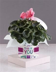 plants: Thank You Cerise Cyclamen!