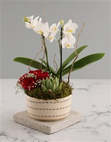 gifts: White Midi Orchid and Rock Rose Succulent!